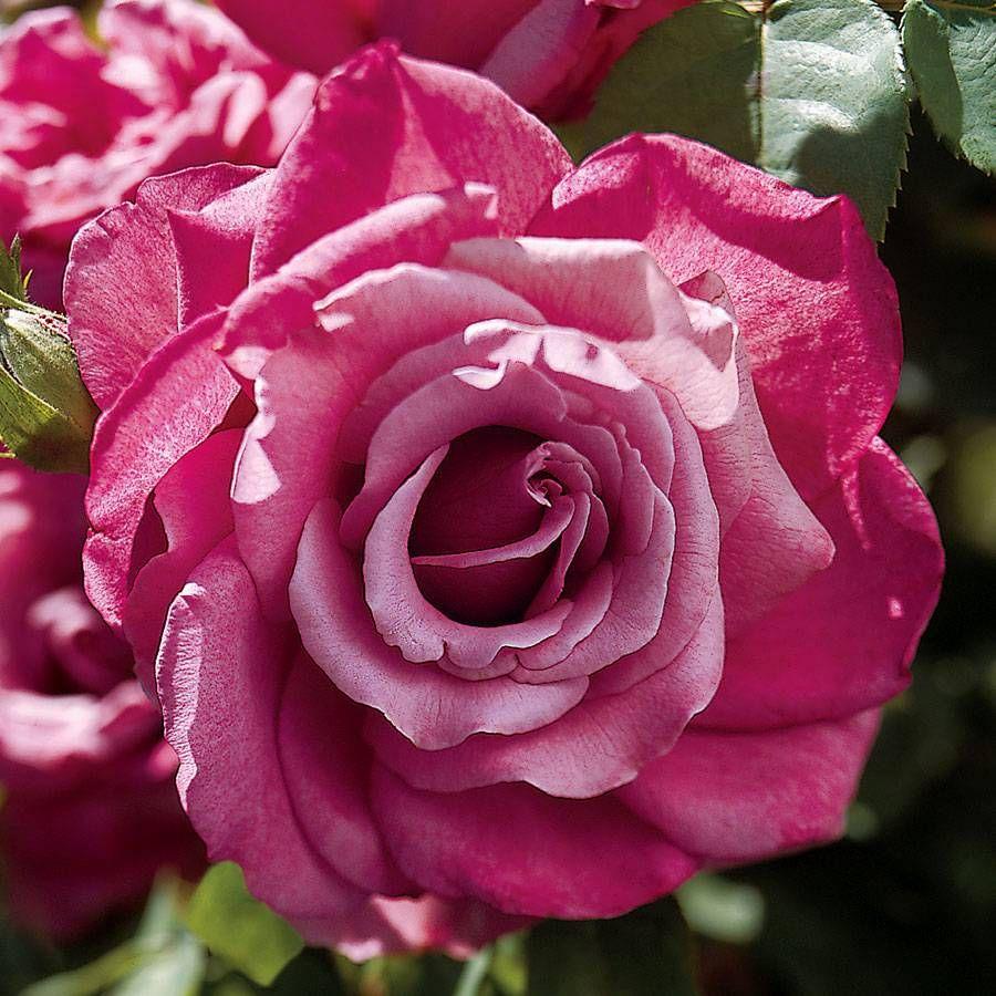Heirloom Hybrid Tea Rose Image