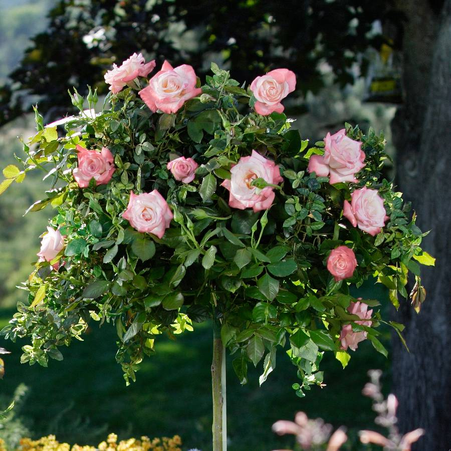 Gemini™ 36-Inch Tree Rose Image