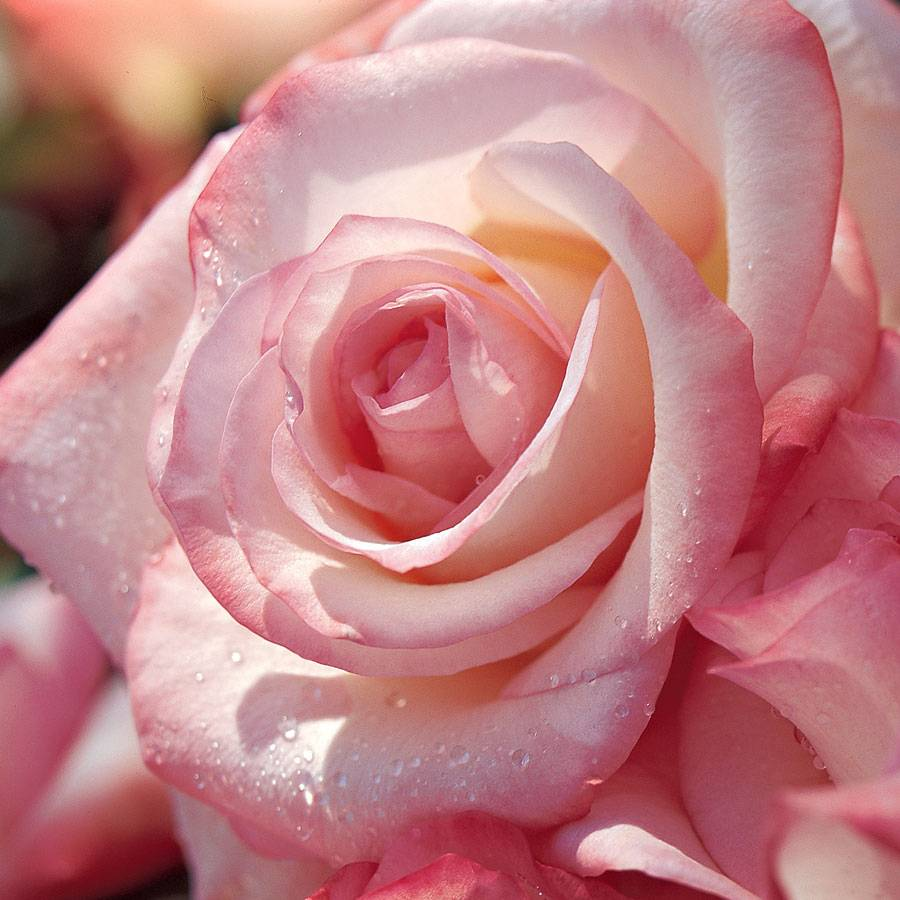 Gemini™ 36-inch Tree Rose
