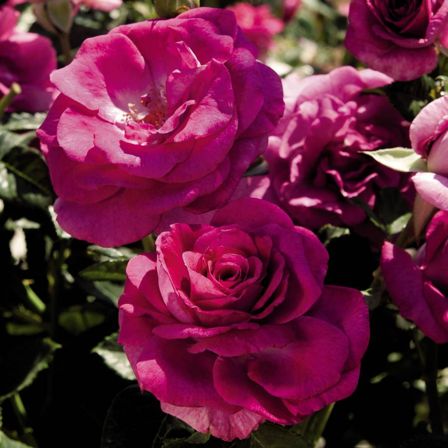 Sweet Intoxication 36-Inch Tree Rose Image