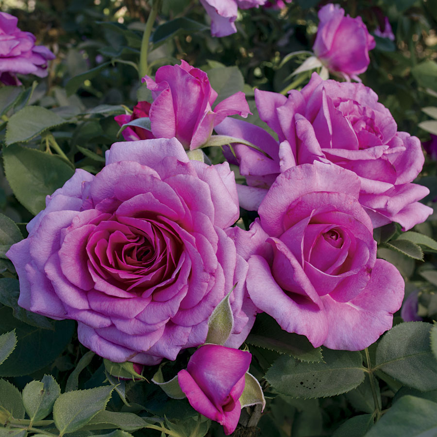 Simply Magnifiscent Grandiflora Rose Image