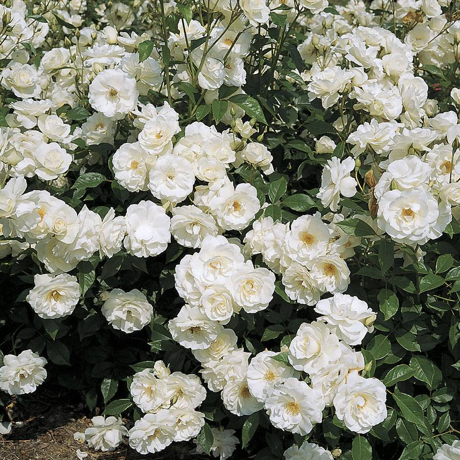 Iceberg climbing rose at jackson perkins for Rosa iceberg