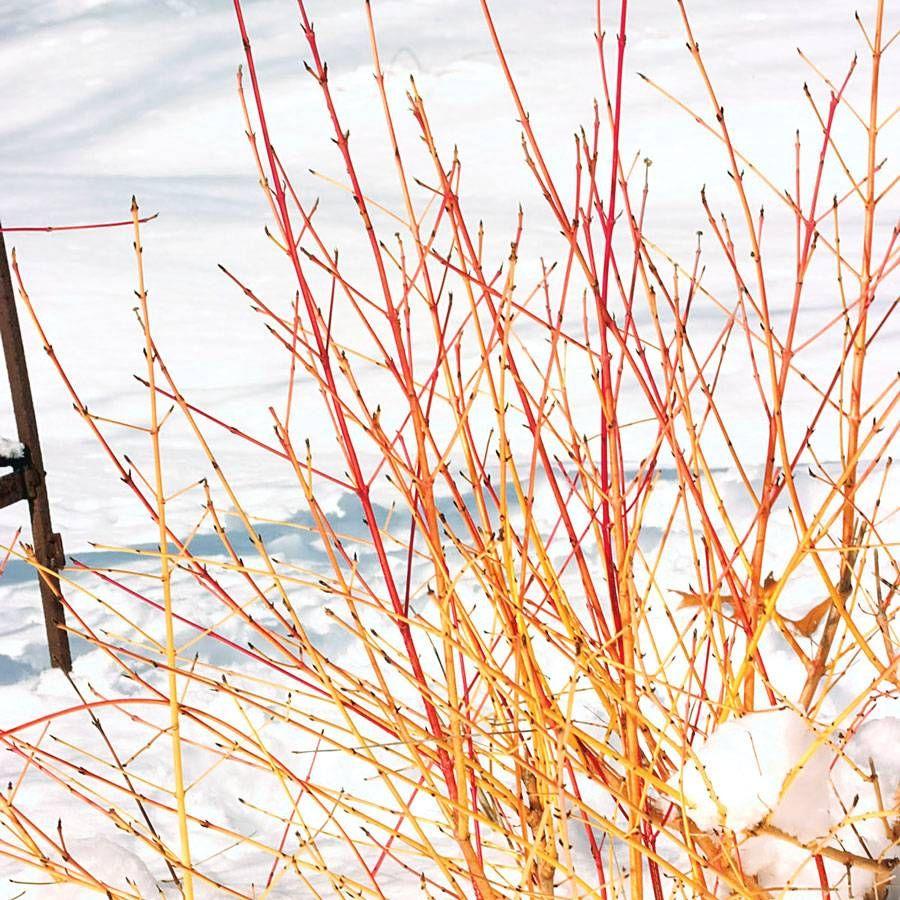 Cornus Arctic Sun® Image