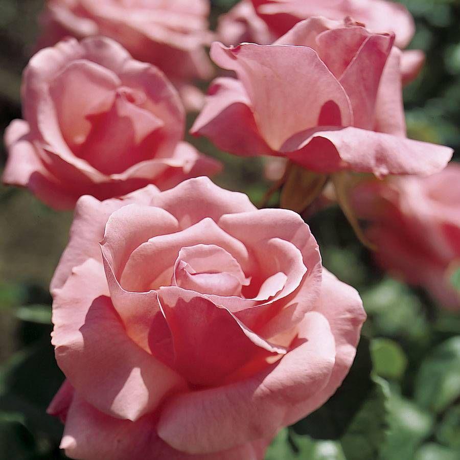 Queen Elizabeth Roses Bushes Zef Jam
