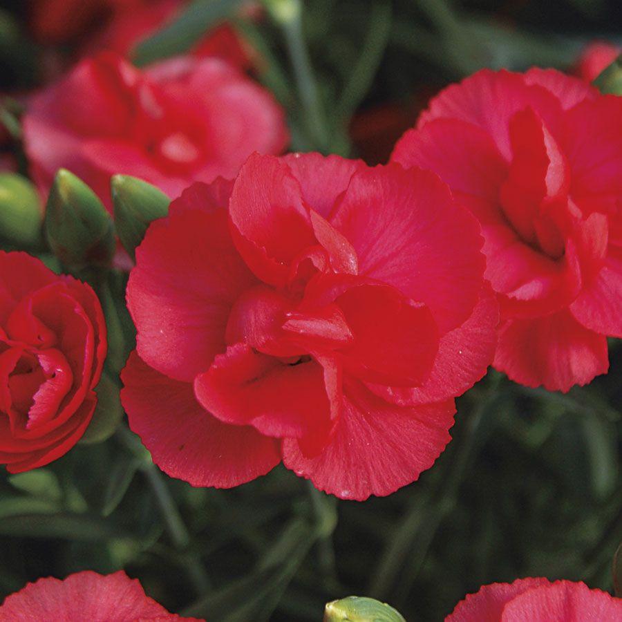 Dianthus Rosebud Image