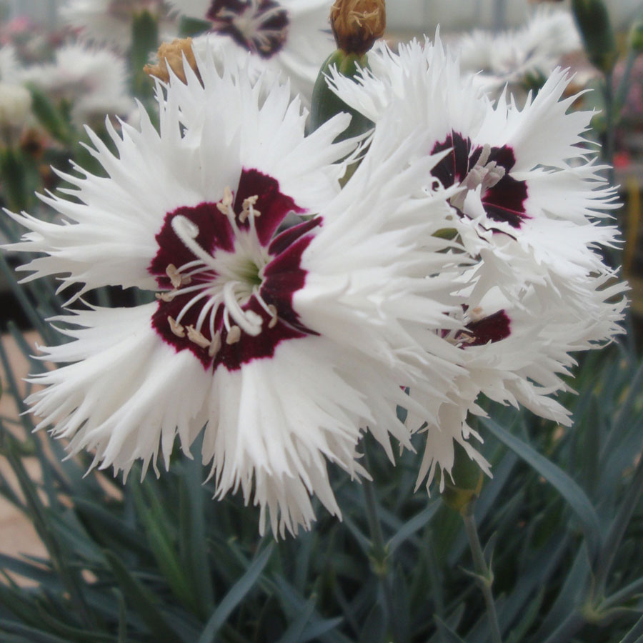 Dianthus star single stargazer from jackson perkins dianthus star single stargazer mightylinksfo
