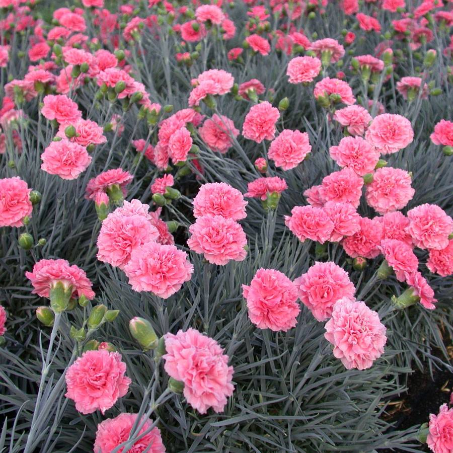 Dianthus Scent First Pink Fizz