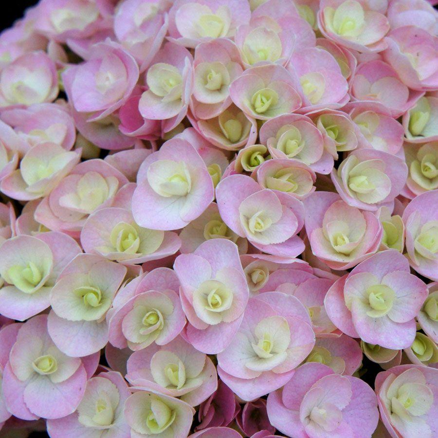 Hydrangea macrophylla Love
