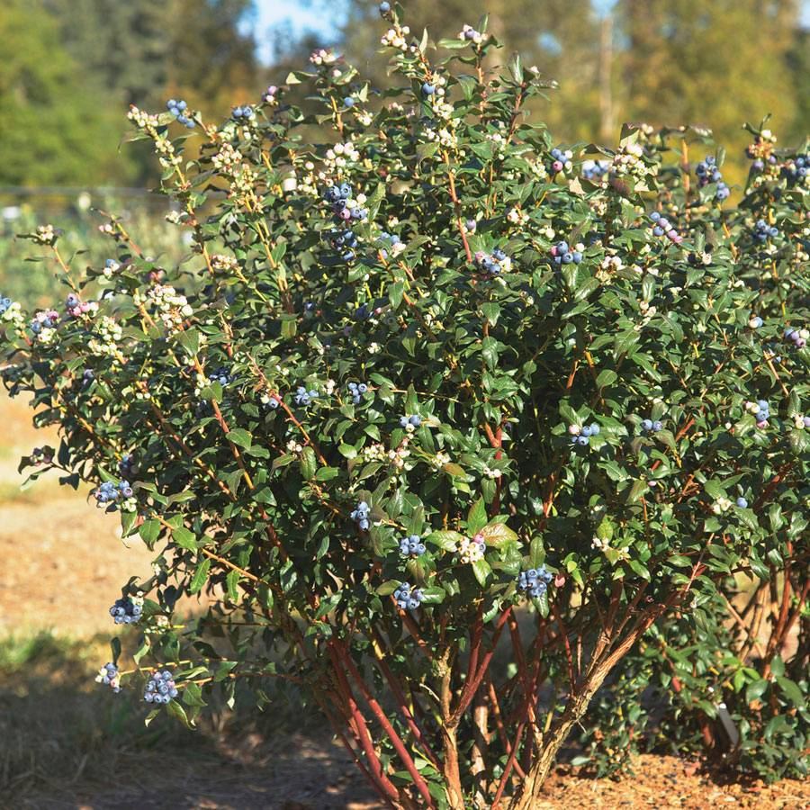 Blueberry BrazelBerries® Perpetua
