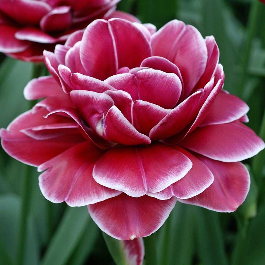 Tulip Double Dreamtouch Image