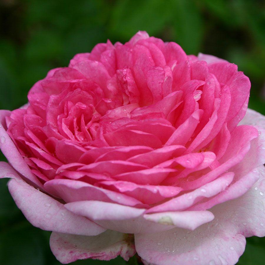 Jasmina™ Arborose® Climbing Rose