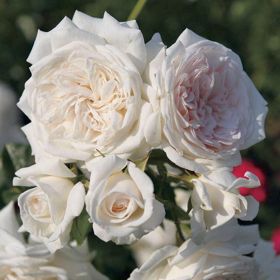 Honeymoon™ Arborose® Climbing Rose Image