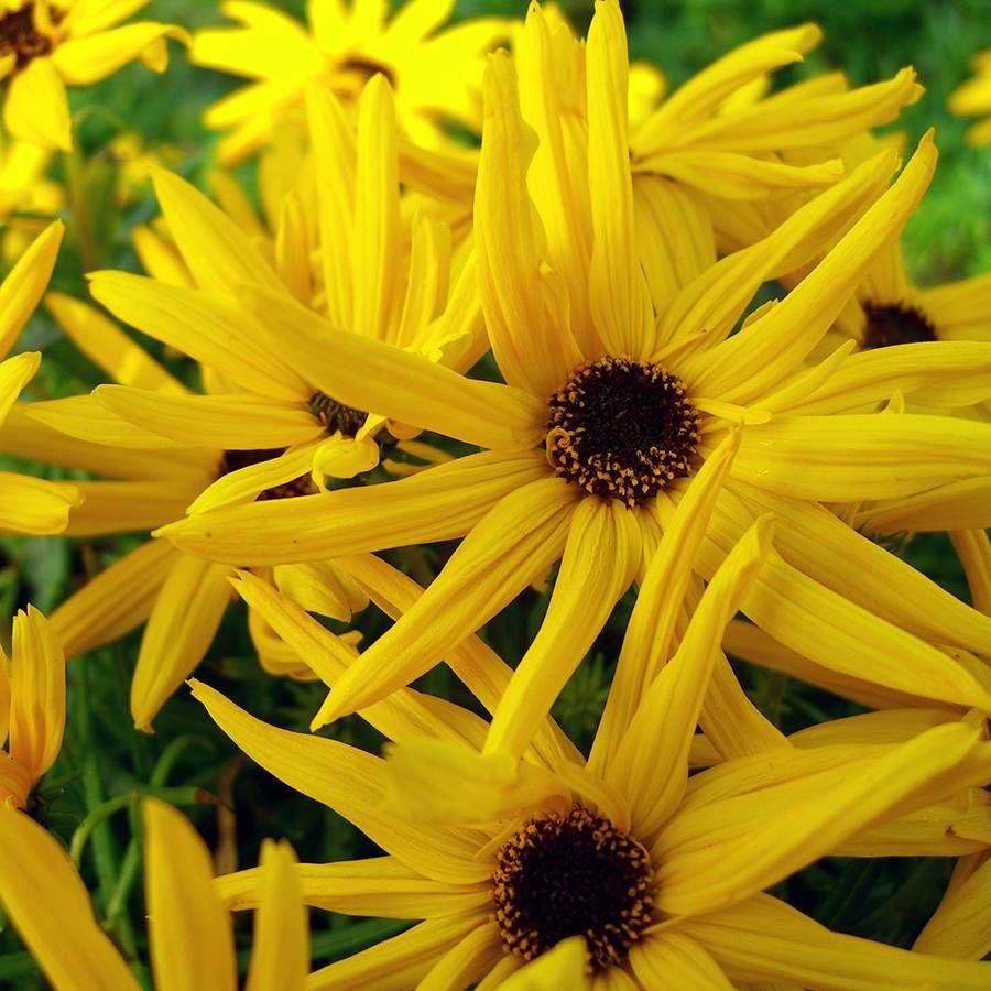 Low Down Sunflower