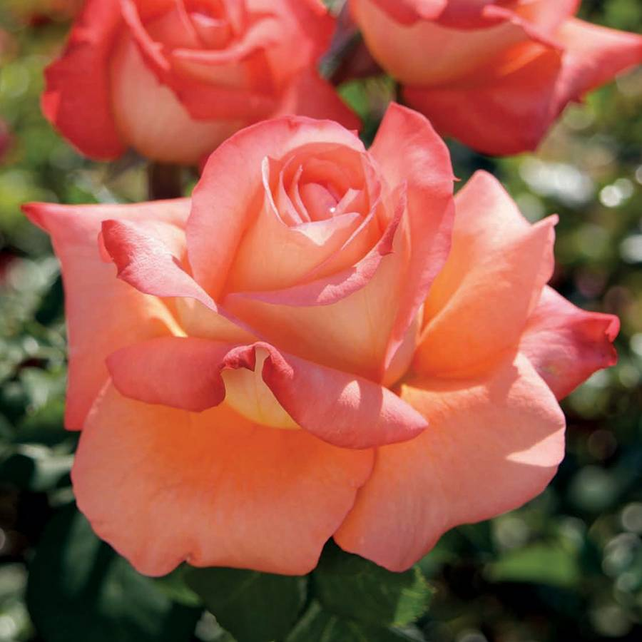 Malibu Hybrid Tea Rose Image
