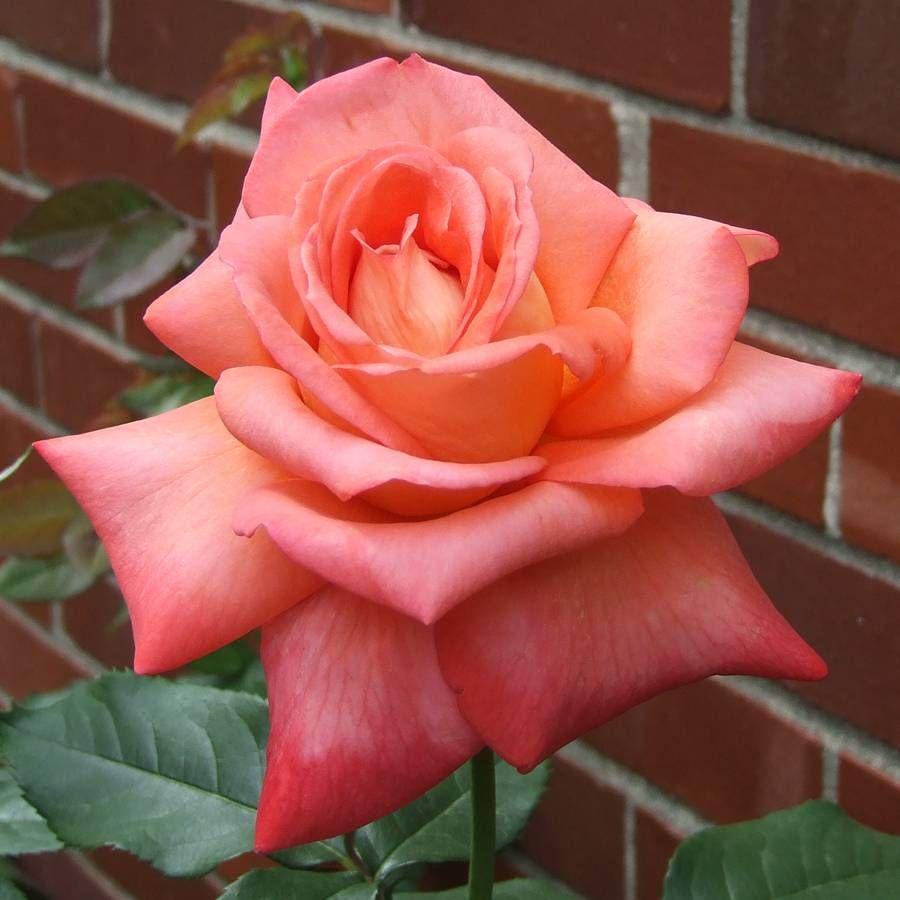 Malibu Hybrid Tea Rose