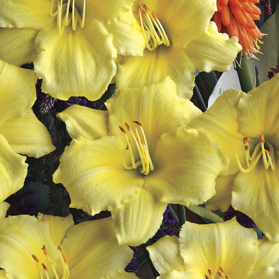 Hemerocallis Stella Supreme From Jackson Perkins