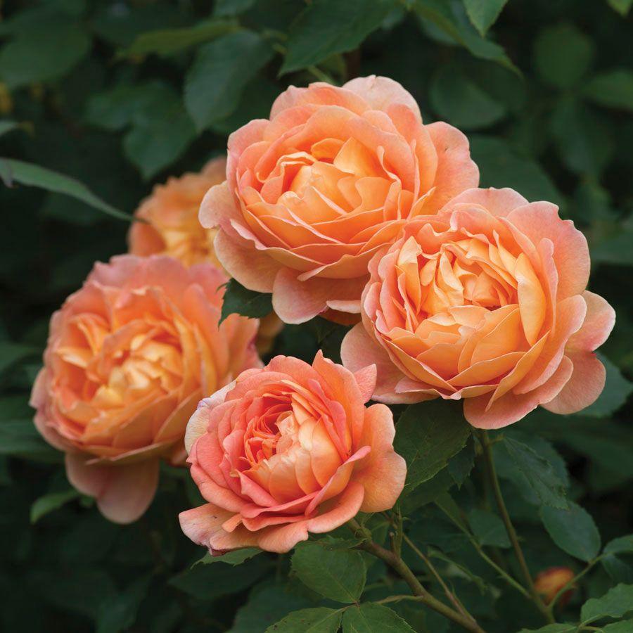 Rose Lady of Shalott™
