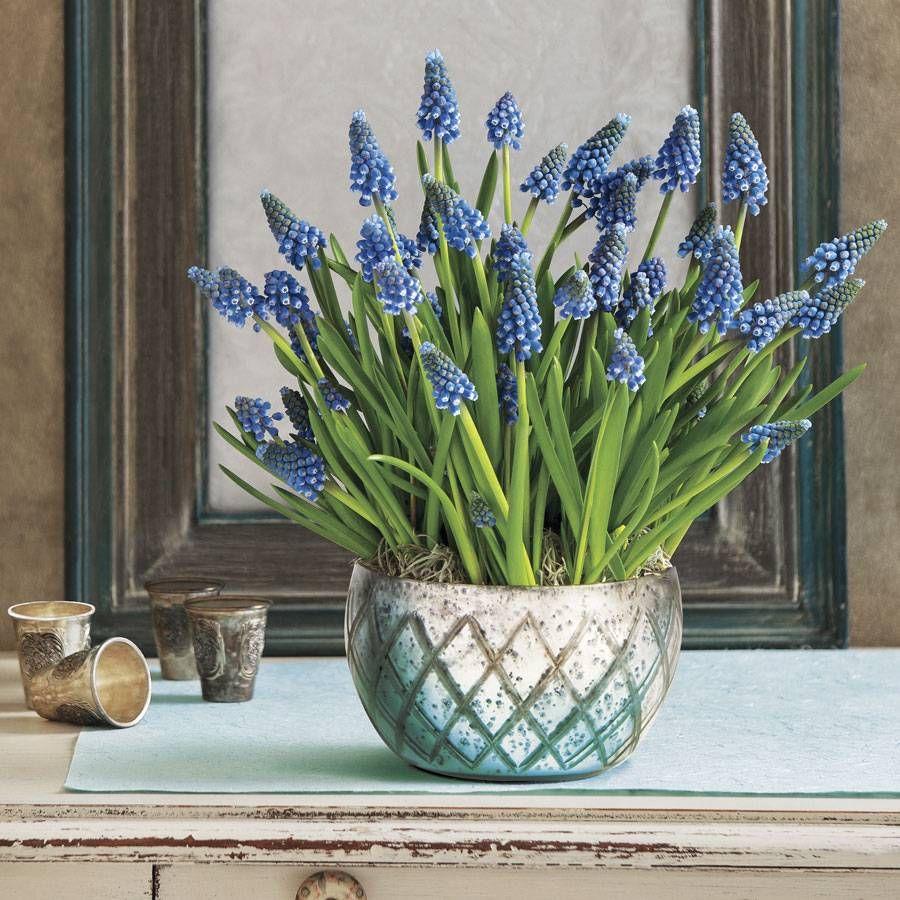 Brilliant Blue Muscari Bulb Garden