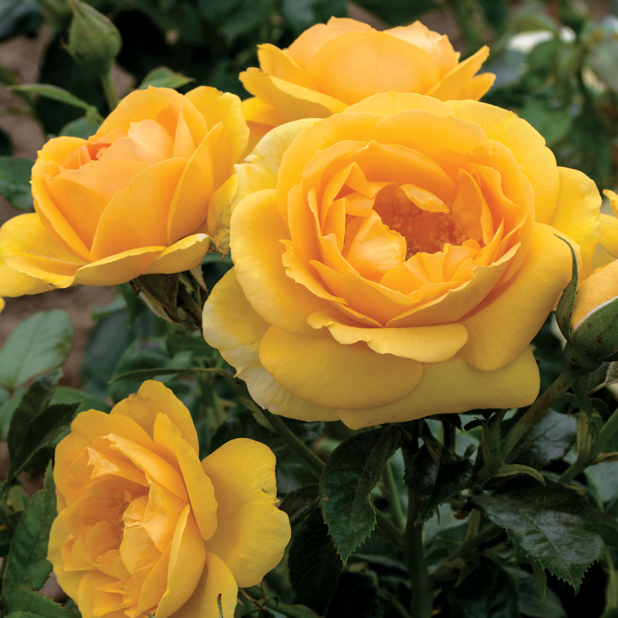 Soaring to Glory 24-Inch Tree Rose Image