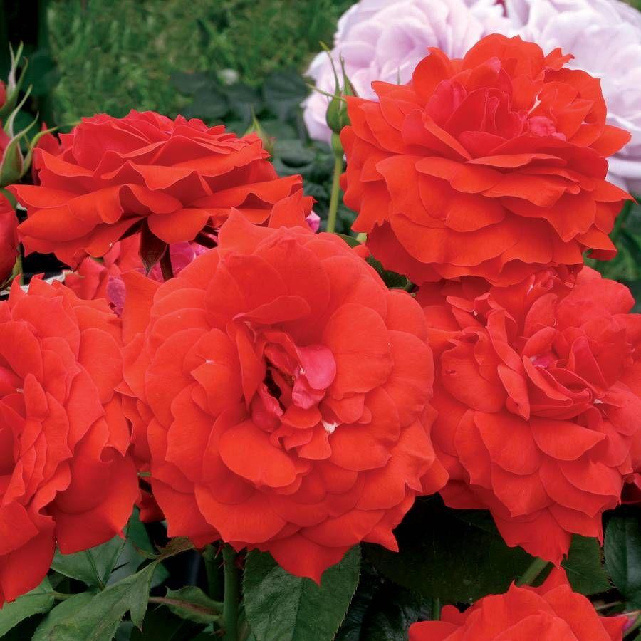 Light My Fire™ Floribunda Rose