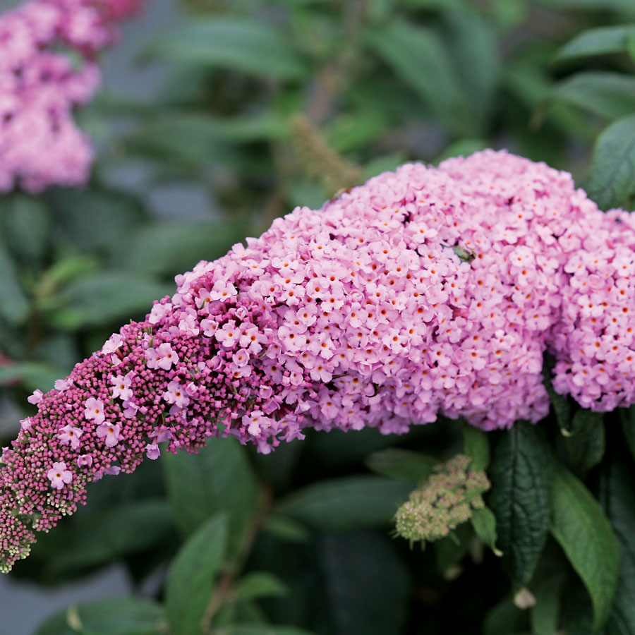 Pugster Pink™ Butterfly Bush