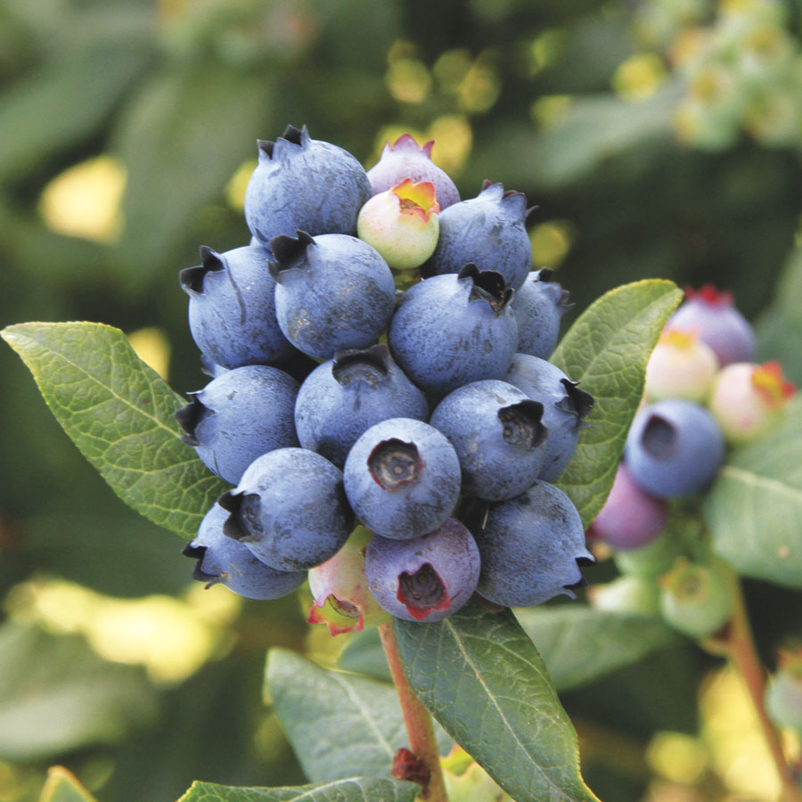 Bushel and Berry® Blueberry Perpetua Image
