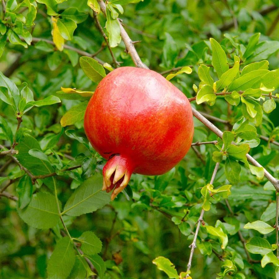 Crimson Sky™ Pomegranate Image