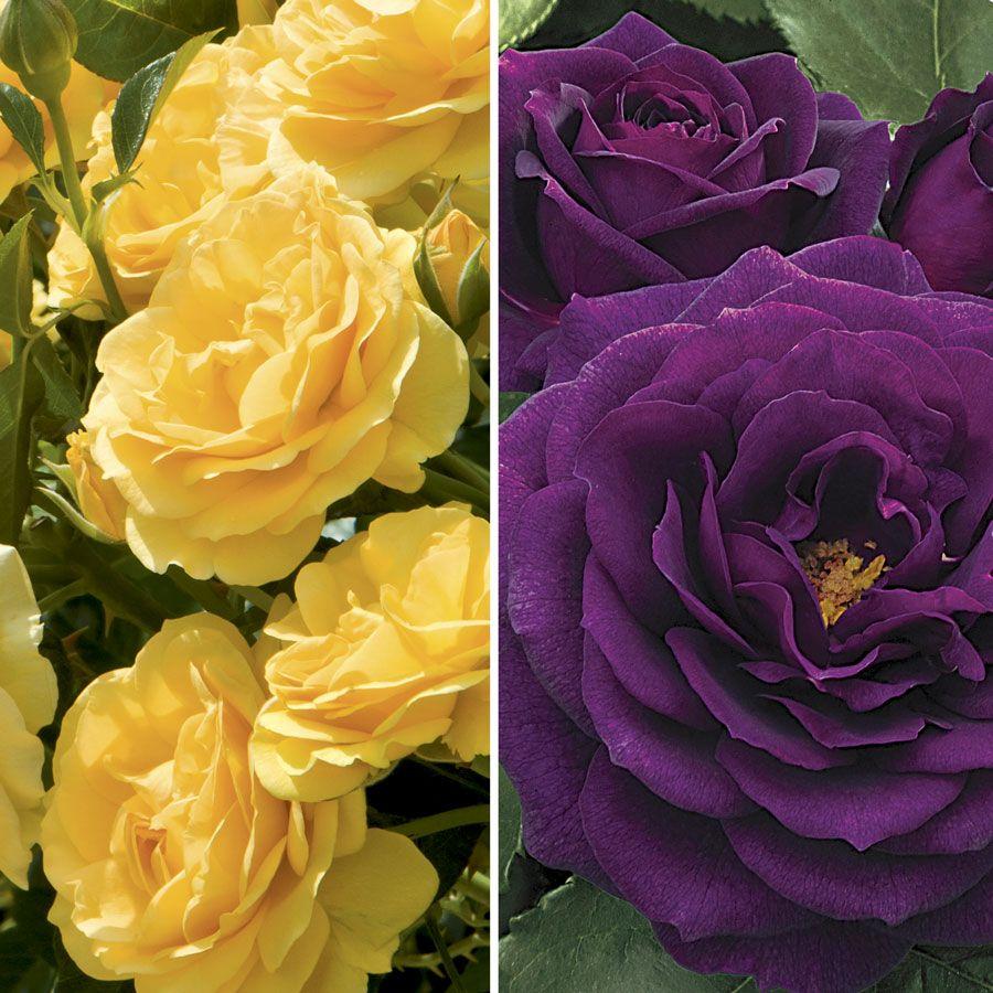 Ebb Tide™ & Julia Child 36-Inch Tree Rose Image