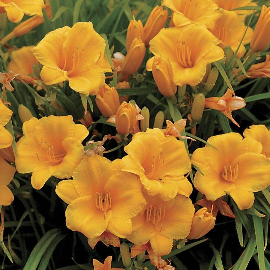 Hemerocallis 'Stella de Oro' Image