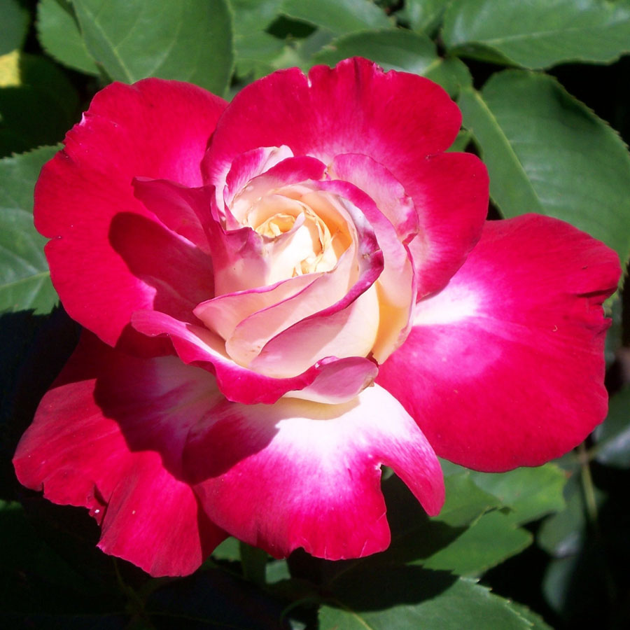 double delight Product features much prettier than double delight rosedark green disease resistant foliage.
