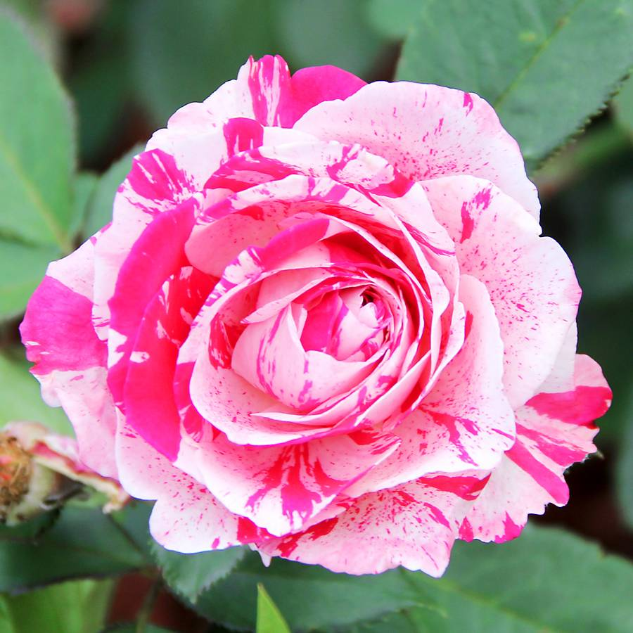 Scentimental™ Floribunda Rose