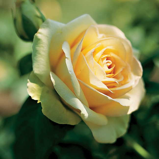 St. Patrick® Hybrid Tea Rose Image