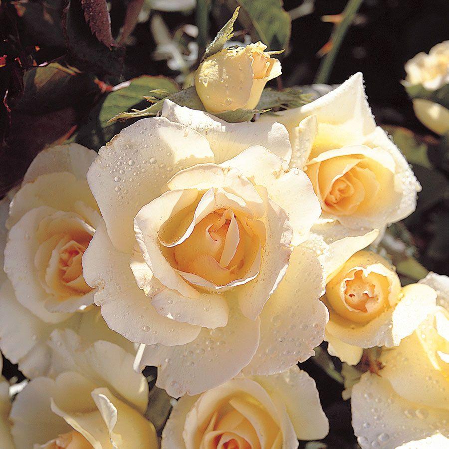 Grand Prize Floribunda Rose Image