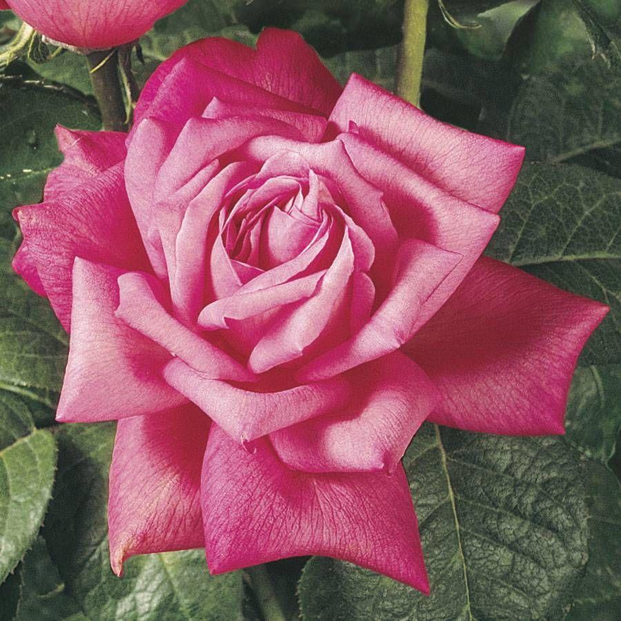 Perfume Delight Hybrid Tea Rose Image
