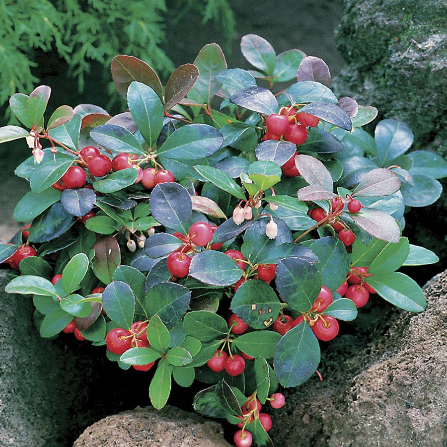 Which Plant Was Native To The New World: Creeping Wintergreen Groundcover Plant For Sale At Jackson