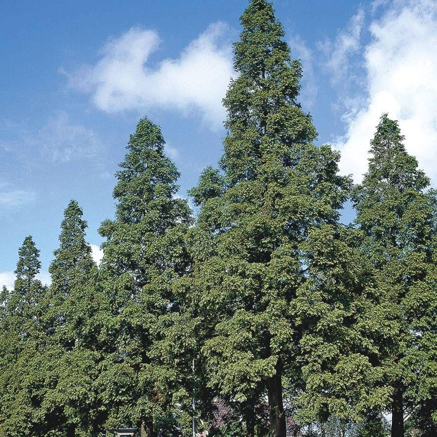 Dawn Redwood Image