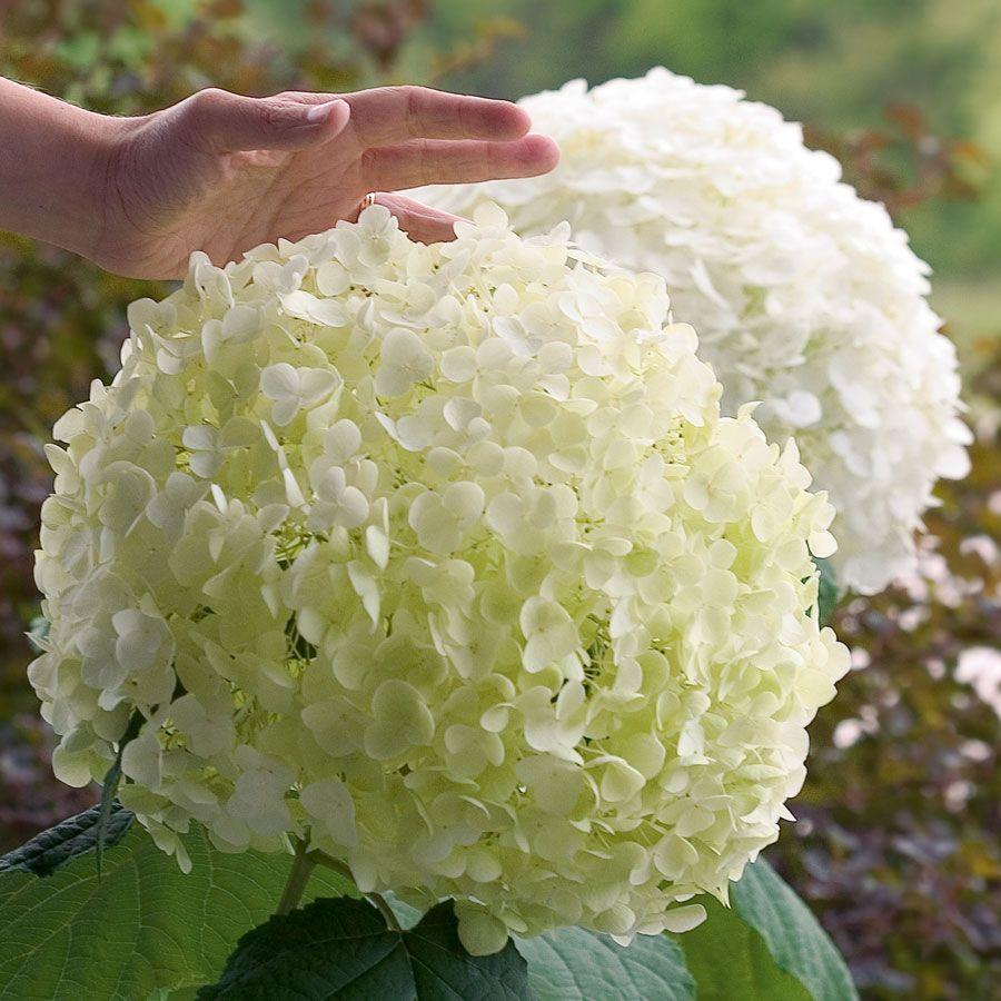 Hydrangea Incrediball® Image