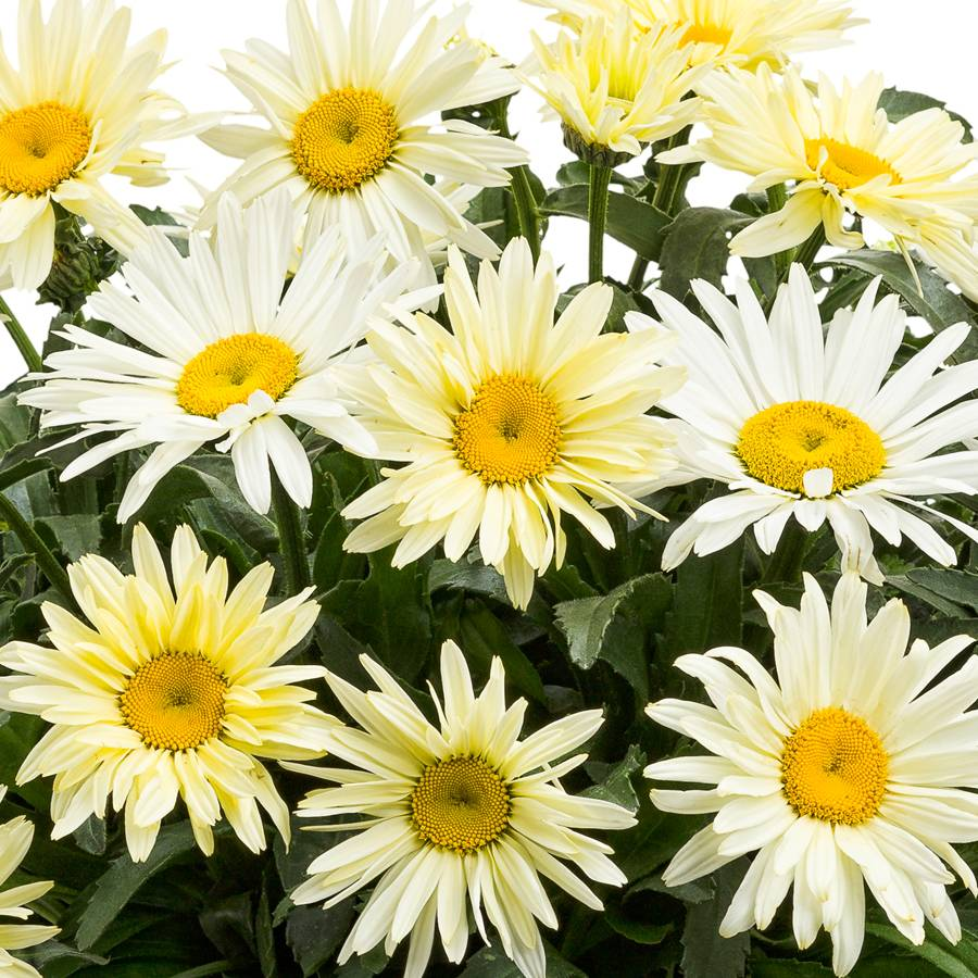 Leucanthemum banana cream from jackson perkins leucanthemum banana cream izmirmasajfo