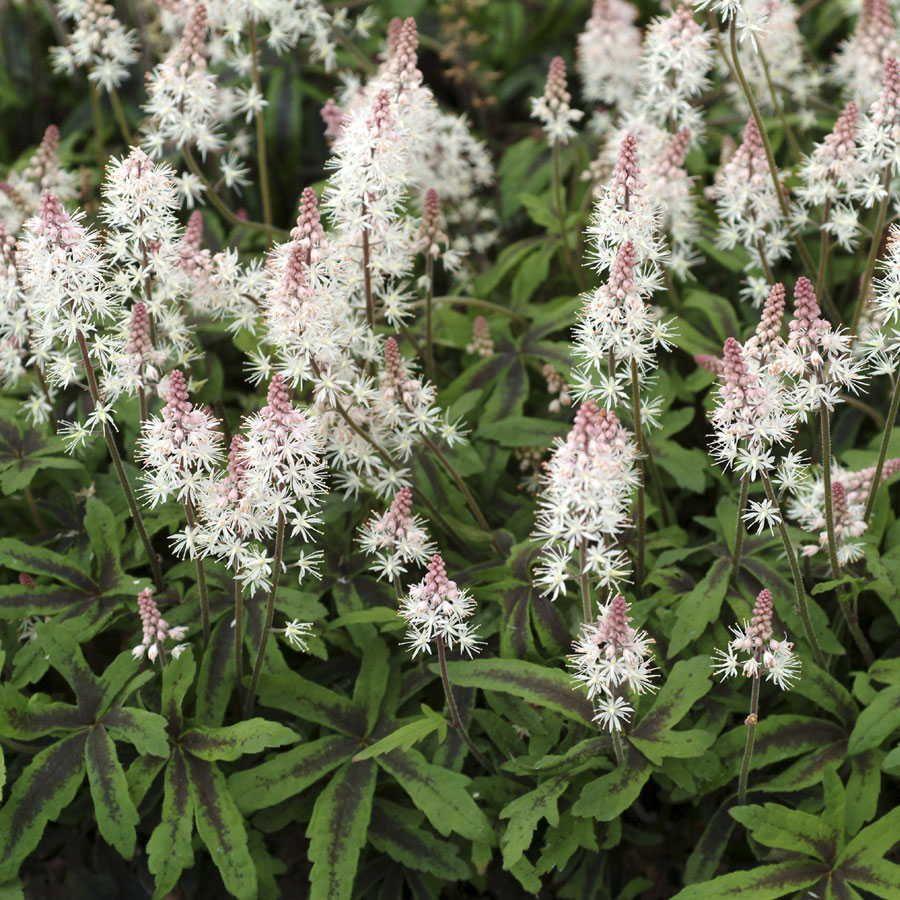 Spring Symphony Foamflower