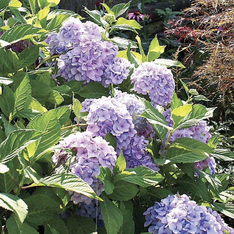 Nikko Blue Hydrangea