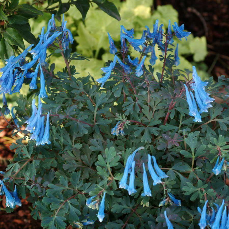 Blue Heron Fumewort