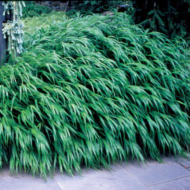 Hakonechloa macra Japanese Forest Grass Plant Image
