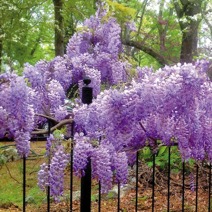 Blue Moon Wisteria From Jackson Perkins