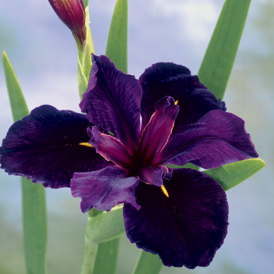 Iris Black Gamecock From Jackson Perkins