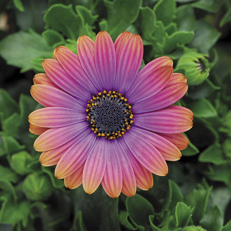 Zion copper amethyst african daisy izmirmasajfo Images