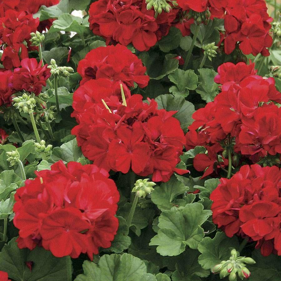 Calliope Dark Red Geranium (pack of 3)