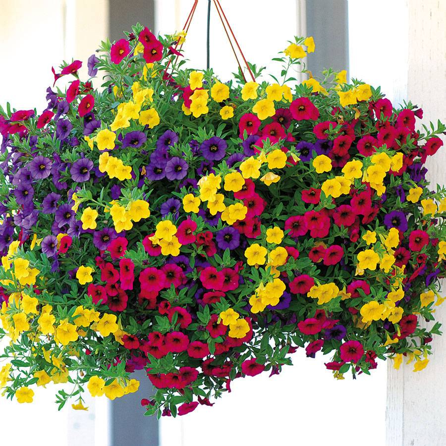 Gold and Bold MiniFamous Calibrachoa (pack of 3)