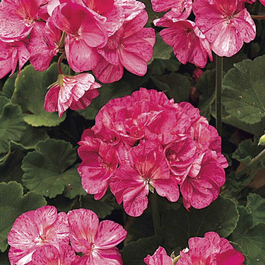 Survivor Pink Batik Geranium (pack of 3)