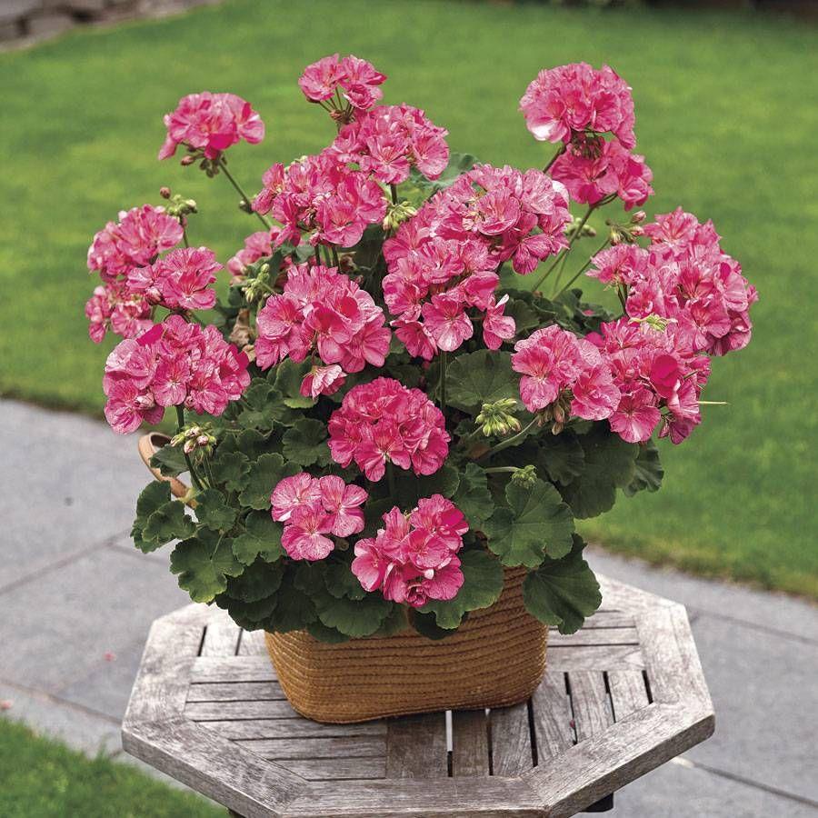 Picture of Live Zonal Geraniums Pink Batik aka Pelargonium hortorum Plant Fit 1GAL Pot