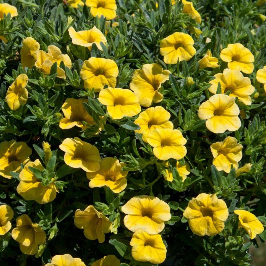 MiniFamous® Calibrachoa Neo Deep Yellow